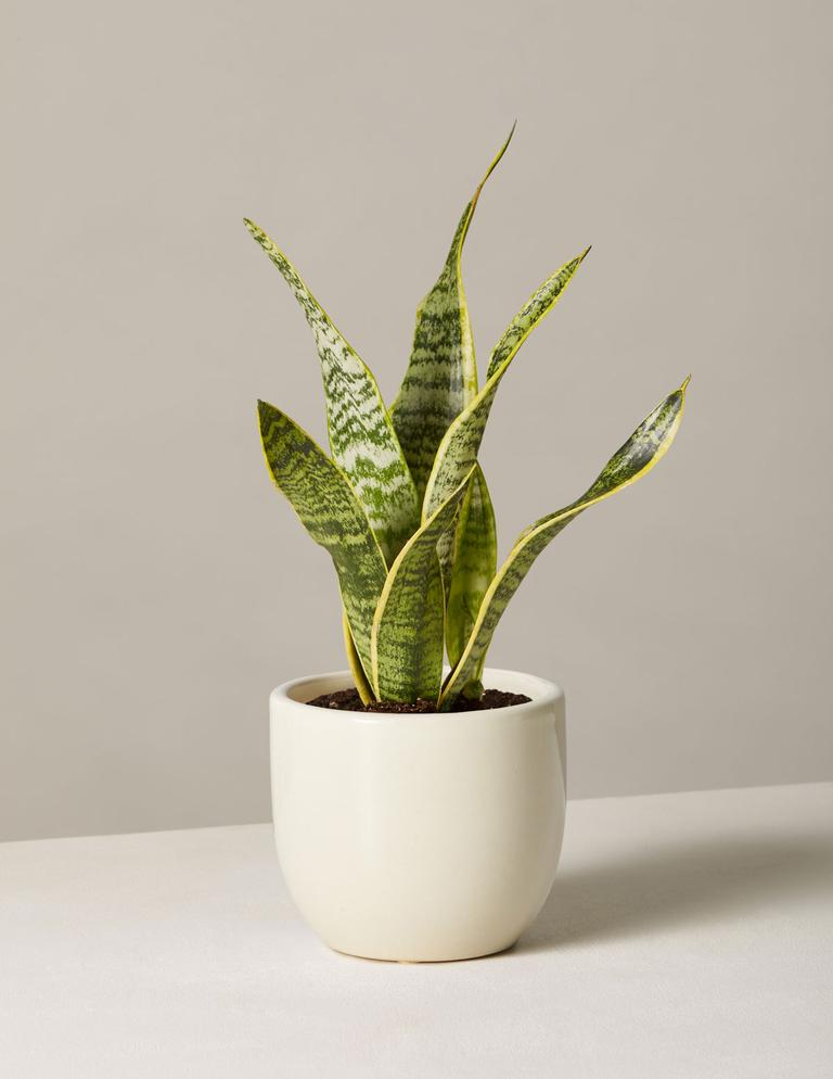 The Sill snake plant Laurentii