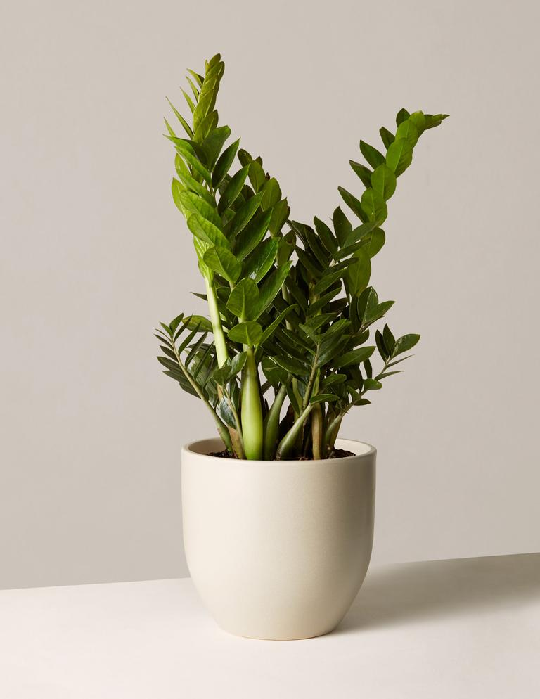 The Sill large ZZ plant